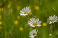 Картинка поле, трава, природа, лепестки, ромашка, луг