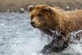 Картинка вода, брызги, медведь