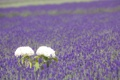 Картинка весна, поле, гортензия, лепестки, листья, сиреневые, поляна