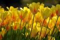 Картинка бутоны, лепестки, жёлтые тюльпаны