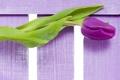 Картинка цветы, фиолетовые, тюльпаны