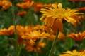 Картинка лето, цветы, оранжевый