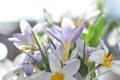 Картинка цветы, природа, весна, крокусы