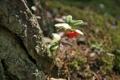 Картинка лес, брусника, прогулка, природа, макро, дерево