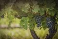 Картинка гроздь, виноград, плоды, виноградник, листва, синий, ягоды