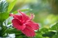 Картинка цветок, листья, красный, ветка, цветение, гибискус