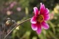 Картинка цветок, розовый, размытость, бутон, георгин