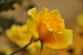 Картинка роза, лепестки, стебель, бутон