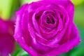 Картинка розовый, цветок, капли, роза, лепестки, макро