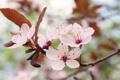 Картинка макро, цветы, вишня, веточка, ветка, розовые, цветение