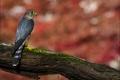 Картинка дерево, отдых, Дербник (Falco columbarius), взгляд
