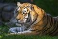 Картинка кошка, лето, трава, тигр, амурский, ©Tambako The Jaguar