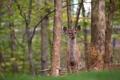 Картинка природа, фон, олень