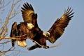 Картинка небо, птица, орел, крылья, ветка, пара, орлан