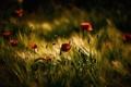 Картинка поле, цветы, маки, колоски, тёмные тона