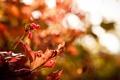 Картинка осень, макро, лист, ягоды, красное