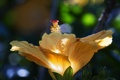 Картинка цветок, желтый, гибискус, макро, лето