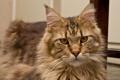 Картинка кошка, кот, взгляд, морда, мейн-кун