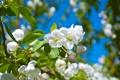 Картинка Весна, яблоня, цветы