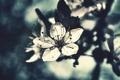 Картинка цветок, лето, макро, цветы, вишня, фокус, лепестки