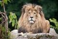 Картинка кошка, листва, камень, лев, грива