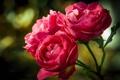 Картинка розы, три, розовые, бутоны, боке