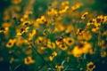 Картинка стебли, лепестки, размытость, жёлтые, полевые цветы