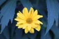 Картинка листья, цветок, желтый, макро, лето