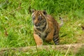 Картинка суматранский, трава, детёныш, котёнок, тигр, бревно, кошка