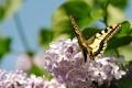 Картинка macro, весна, сирень, цветы
