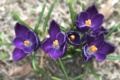 Картинка размытость, фиолетовые, крокусы