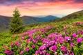 Картинка небо, трава, закат, цветы, горы, ель, landscape