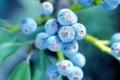 Картинка листья, макро, ветки, куст, Ягоды, голубика
