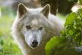 Картинка белый, взгляд, морда, волк, ©Tambako The Jaguar