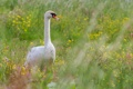 Картинка лето, птица, лебедь