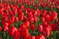 Картинка поле, плантация, красные тюльпаны