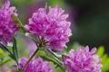 Картинка макро, рододендрон, rhododendron