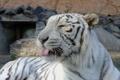 Картинка язык, кошка, морда, белый тигр