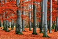 Картинка red, forest, trees