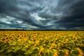 Картинка поле, небо, подсолнухи, тучи