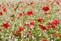 Картинка растение, луг, поле, маки, цветы