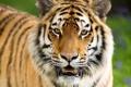 Картинка кошка, усы, взгляд, морда, полоски, тигр