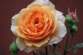 Картинка капли, макро, роса, роза, бутоны