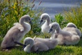 Картинка трава, лебеди, птенцы