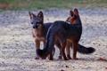 Картинка животные, лисы, взгляд. природа