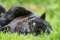 Картинка кошка, трава, взгляд, морда, черный ягуар, ©Tambako The Jaguar