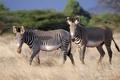 Картинка white, black, zebra, Equus Grevyi