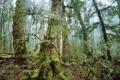 Картинка природа, лес, мох, деревья, фото
