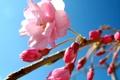 Картинка сакура, цветок, небо, розовый, весна