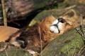 Картинка кошка, морда, отдых, камень, сон, лев, спит